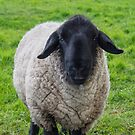 Suffolk Sheep by M S Photography/Art