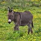 Donkey by M S Photography/Art