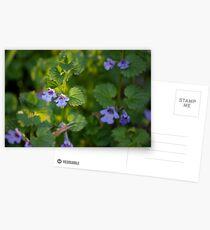 Ground-Ivy Blossoms Postcards