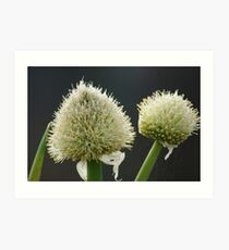 Onion Flowers Art Print