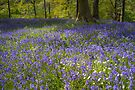 Bluebell Wood by Stephen Miller
