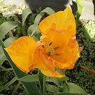 Fancy Tulips b by Janone