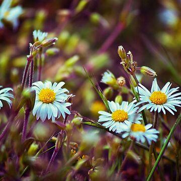 Daisy Daisy by InspiraImage