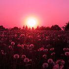 Dandelion dusk by MarianBendeth