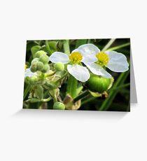 Broadleaf Arrowhead (Sagittaria latifolia)  Greeting Card