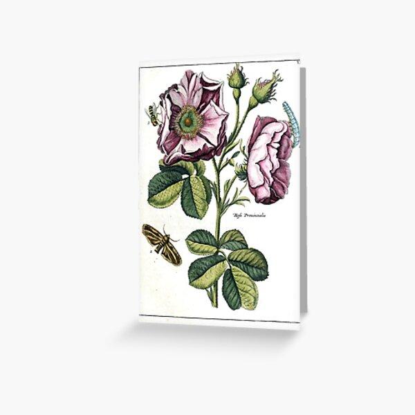 Rosa provincialis Vintage Botanical Print  Greeting Card