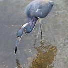 Tri Colored Heron by SuddenJim
