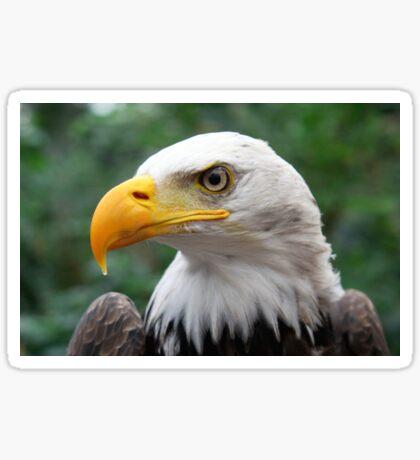 Portrait of A Bald Eagle Sticker