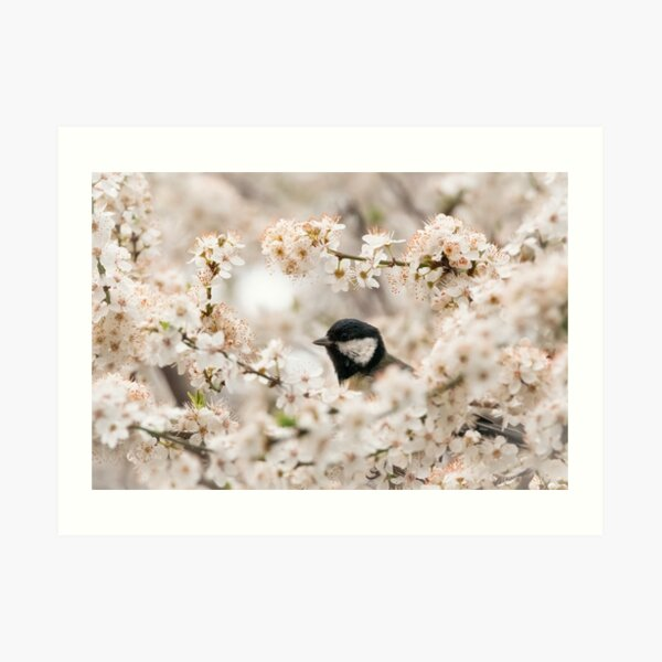 A springtime bird in cherry blossom Art Print
