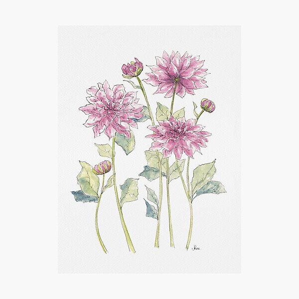 Magenta Dahlias Illustration Photographic Print