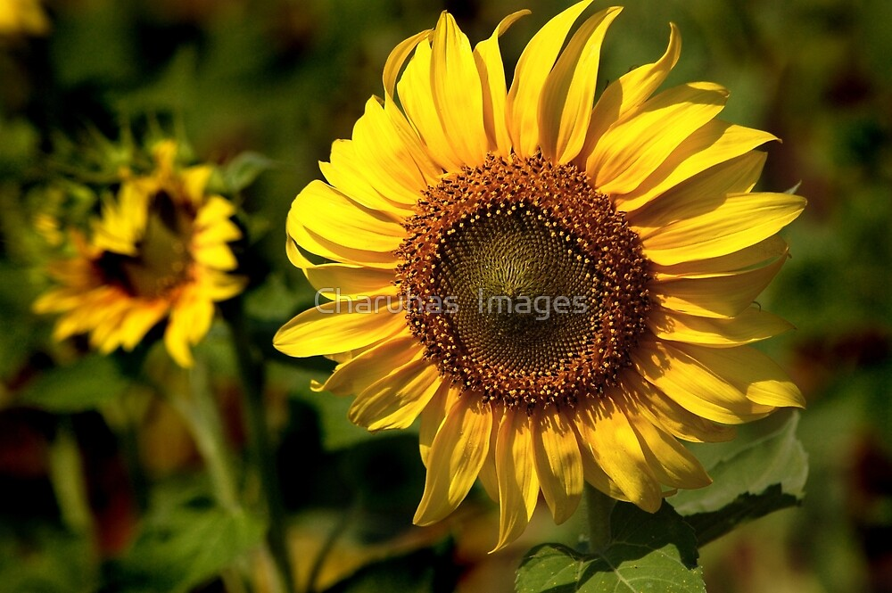 Sunflower by Charuhas  Images