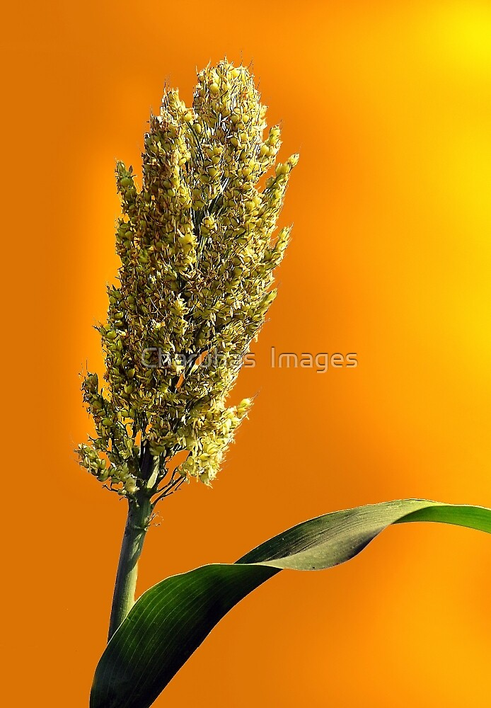 Sorghum Corn by Charuhas  Images