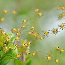 Araneus diadematus spiderlings by relayer51