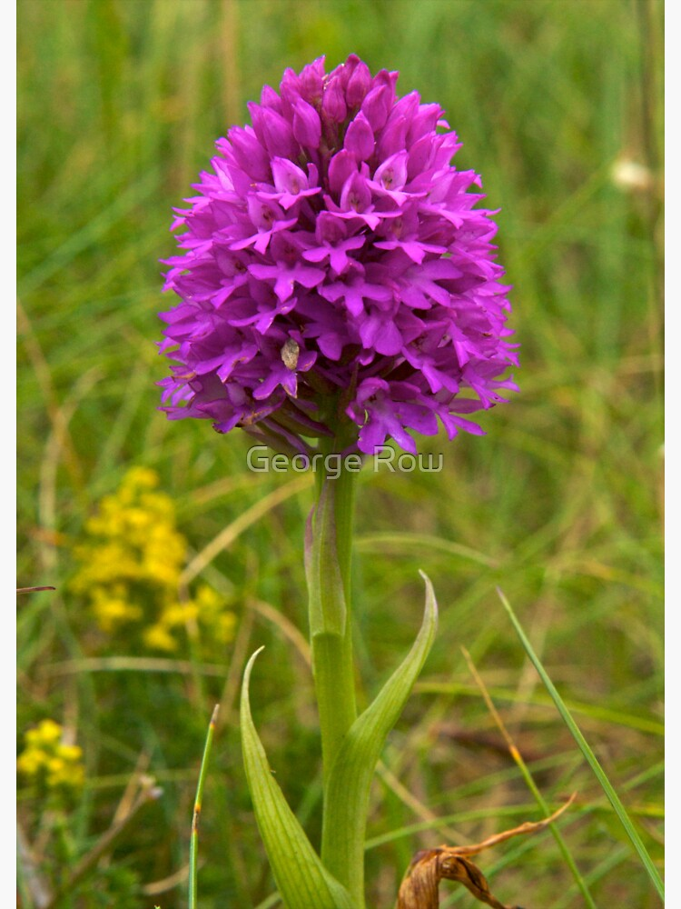 Pyramidal Orchid, Inishmore by VeryIreland