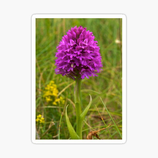 Pyramidal Orchid, Inishmore Sticker
