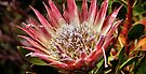 King Protea, Kirstenbosch  Gardens, South Africa  by Carole-Anne