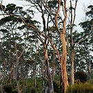 Gum Trees - Marion Bay by Anthony Davey