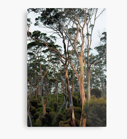 Gum Trees - Marion Bay Metal Print