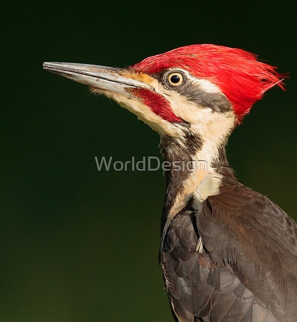 Pileated Woodpecker by WorldDesign