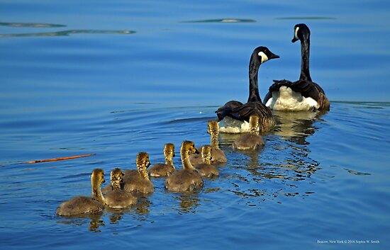 Branta Canadensis - Canada Goose Family | Beacon, New York by © Sophie W. Smith