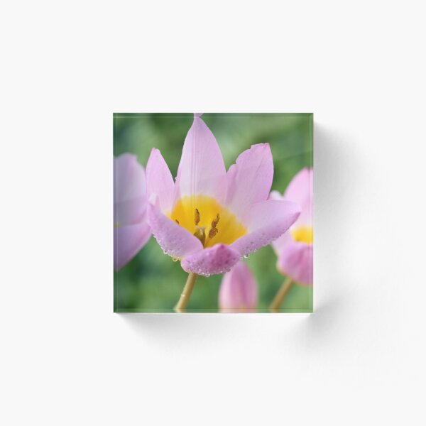 Tulipa saxatilis Bakeri Group  'Lilac Wonder'   Acrylic Block