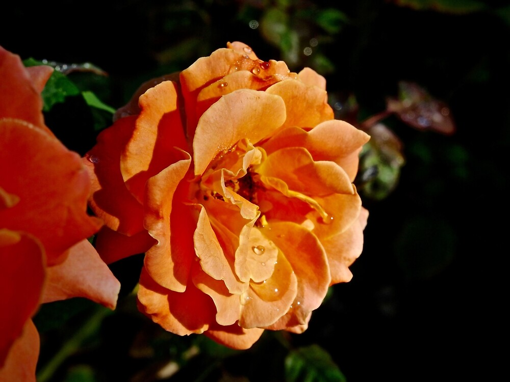 Coral Rose by Douglas E.  Welch