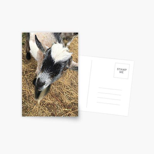 Curious Goat Postcard