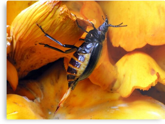 Beetle With Ovipositor by Jean Gregory  Evans