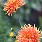 orange beauty by wendywoo1972