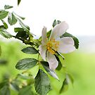 Dog Rose by Astrid Ewing Photography