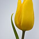 Tulip by wendywoo1972