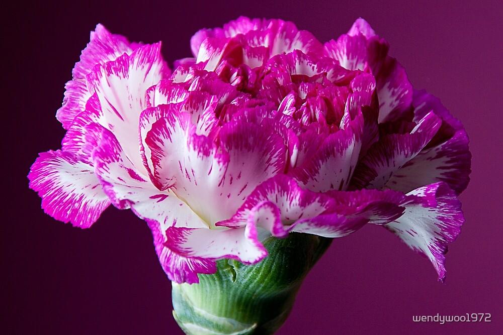 carnation by wendywoo1972