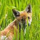 Fox Cub by Stephen Miller