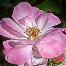 Pink Rose by cclaude