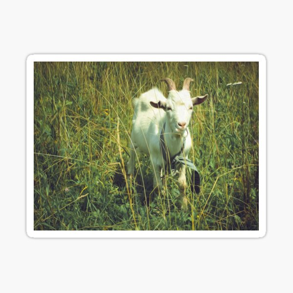 Animal Goat Grass Sunny Field  Sticker