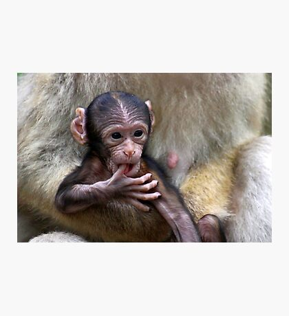 Baby Barbary Macaque Photographic Print