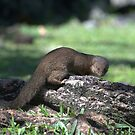 Asian Mongoose by Dennis Stewart