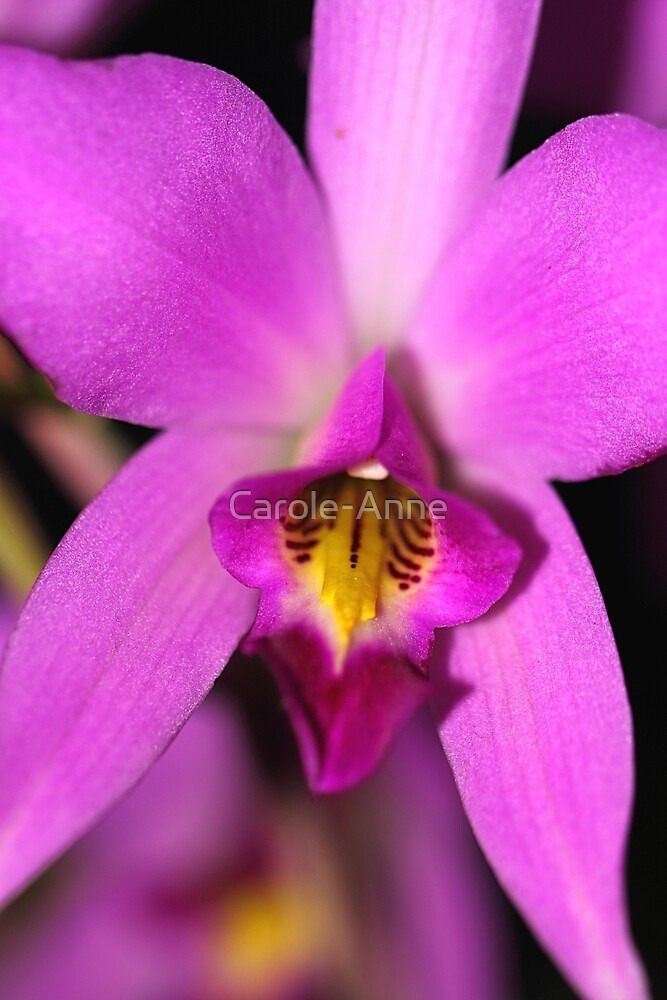 Magenta Orchid by Carole-Anne