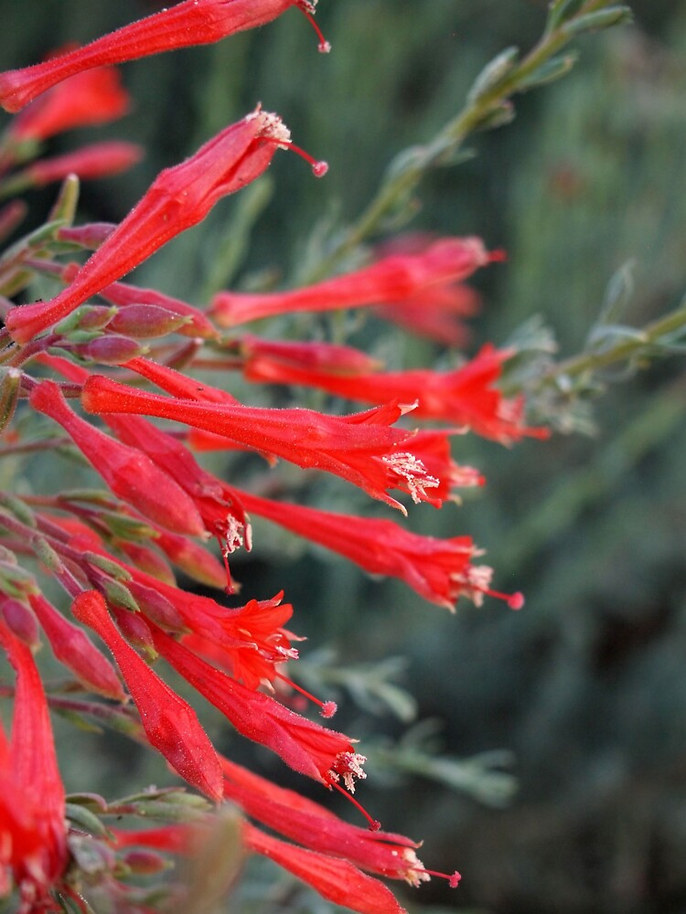 Penstemon from A Gardener's Notebook by douglasewelch