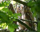 Tawny Owlets by Neil Bygrave (NATURELENS)