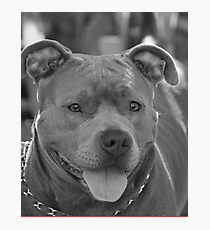 Pitbull in black and white Photographic Print