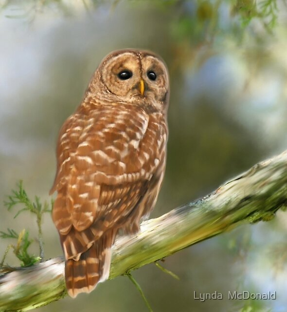 Owl Time by Lynda   McDonald
