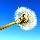 Dandelion puff against blue sky by ©The Creative  Minds
