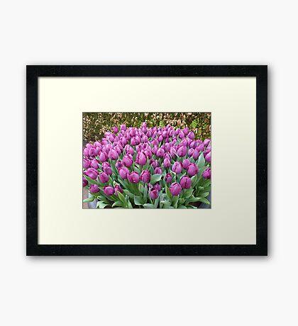 My favorite colour : purple tulips at Keukenhof NL Framed Print