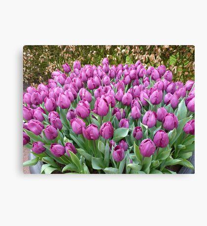 My favorite colour : purple tulips at Keukenhof NL Canvas Print