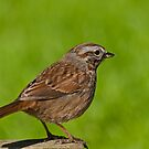 Song Sparrow on a Log by Jeff Goulden
