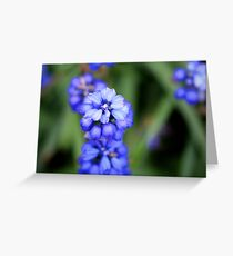 Grape Hyacinth - Muscari botryoides Greeting Card