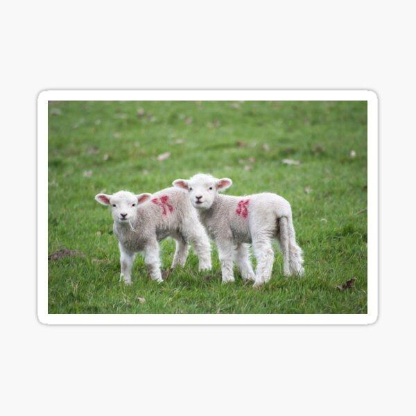 Lamb Animal Green Wool Nature Grass  Sticker