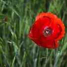 Red Poppy by Cecilia Carr