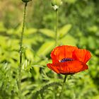 A Single Poppy Flower 2016 by Thomas Young